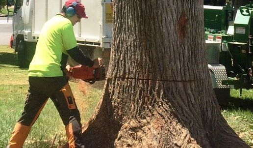 Tree surgeon felling a very large tree with a chainsaw in a resident's front yard