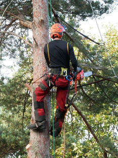 A tree surgeon cutting large limbs from a tree in Chesterfield, MO before removing the tree