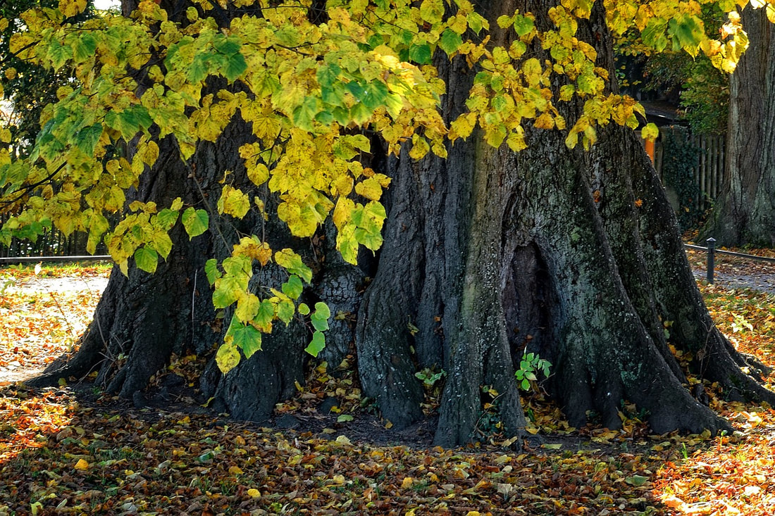 The large base of a tree with bright yellow leaves falling in autumn
