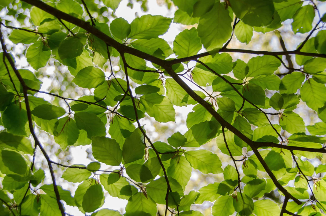 Healthy green leaves in the canopy of a tree